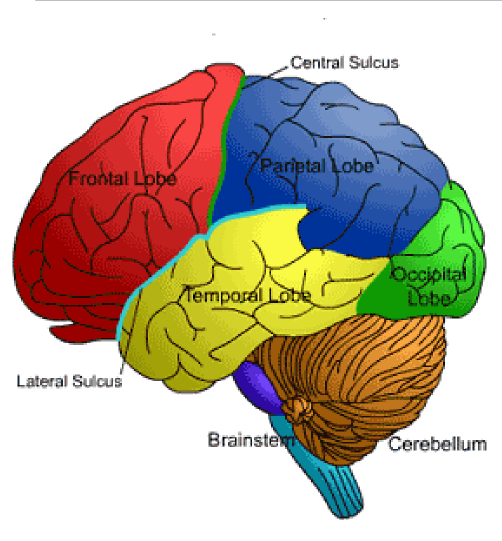 brain drawing with labels - photo #38